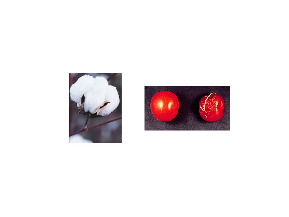 The Never-ripe mutation blocks ethylene perception in tomato