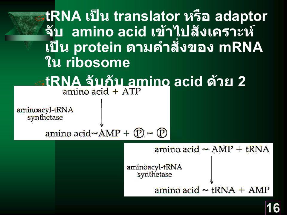 tRNA เป็น translator หรือ adaptor จับ amino acid เข้าไปสังเคราะห์เป็น protein ตามคำสั่งของ mRNA ใน ribosome