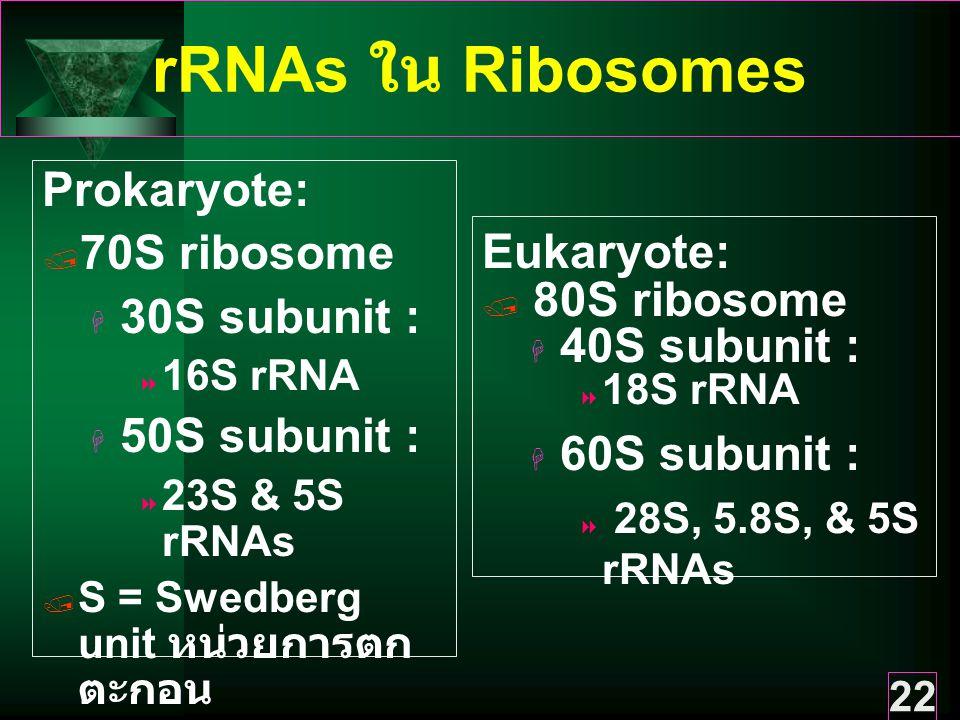 rRNAs ใน Ribosomes Prokaryote: 70S ribosome 30S subunit : Eukaryote: