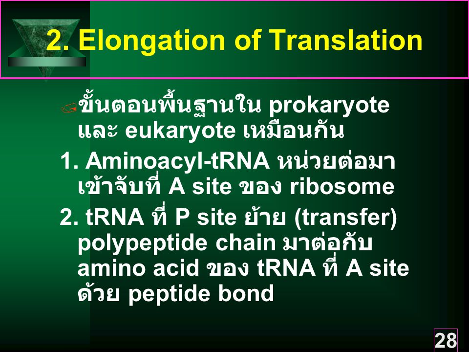 2. Elongation of Translation