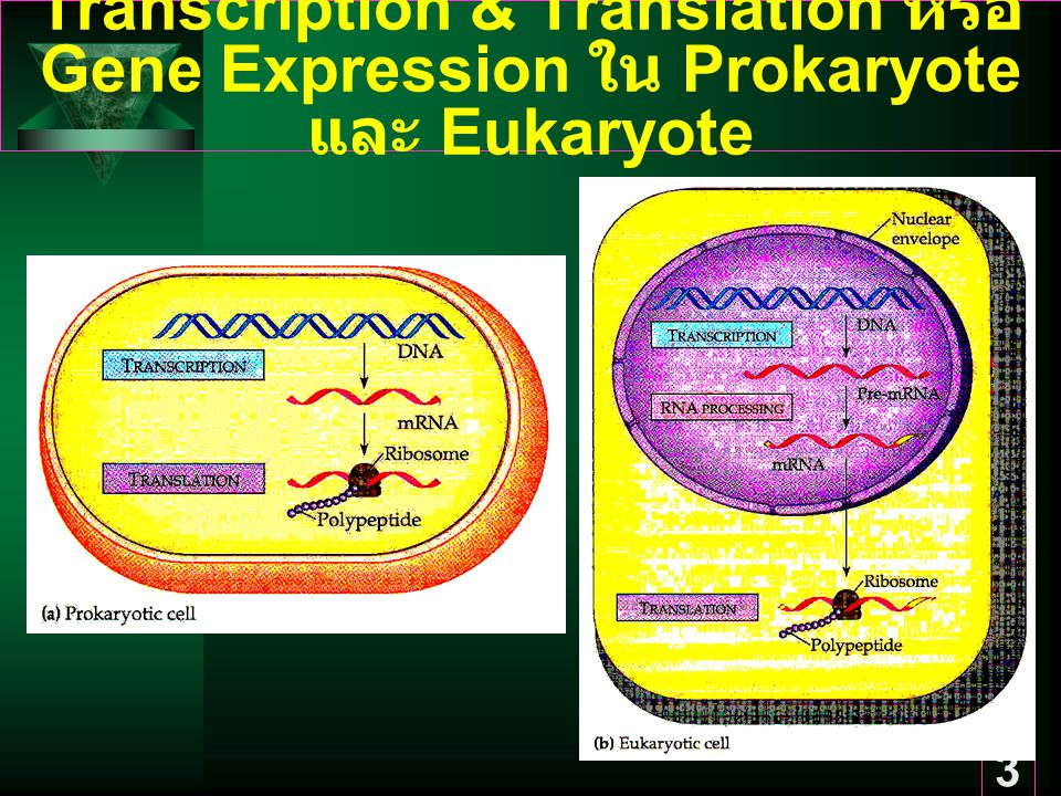 Transcription & Translation หรือ Gene Expression ใน Prokaryote และ Eukaryote