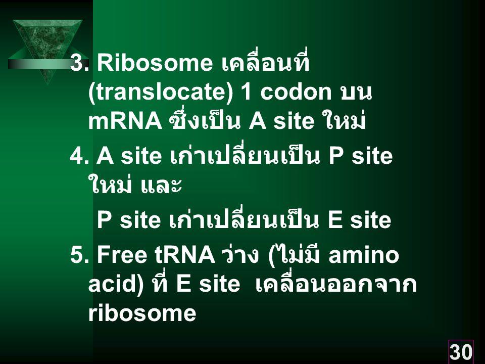 3. Ribosome เคลื่อนที่ (translocate) 1 codon บน mRNA ซึ่งเป็น A site ใหม่