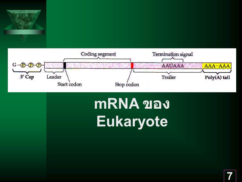 mRNA ของ Eukaryote
