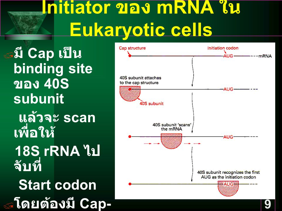 Initiator ของ mRNA ใน Eukaryotic cells
