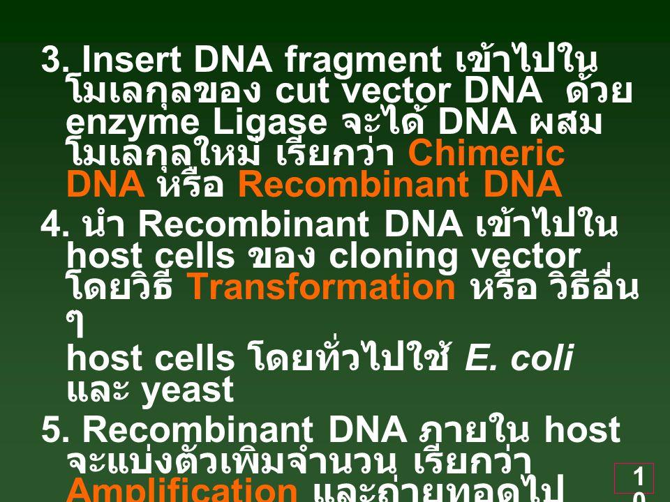 3. Insert DNA fragment เข้าไปในโมเลกุลของ cut vector DNA ด้วย enzyme Ligase จะได้ DNA ผสมโมเลกุลใหม่ เรียกว่า Chimeric DNA หรือ Recombinant DNA