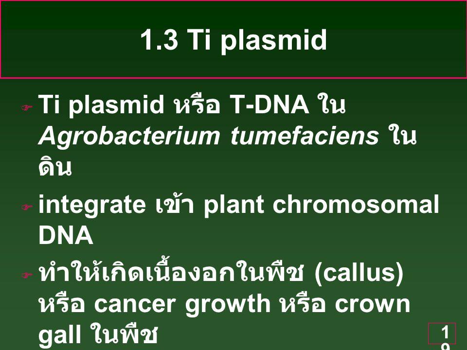 1.3 Ti plasmid Ti plasmid หรือ T-DNA ใน Agrobacterium tumefaciens ในดิน. integrate เข้า plant chromosomal DNA.