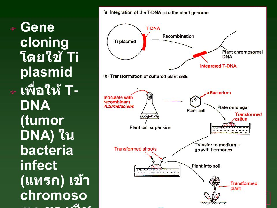 Gene cloning โดยใช้ Ti plasmid