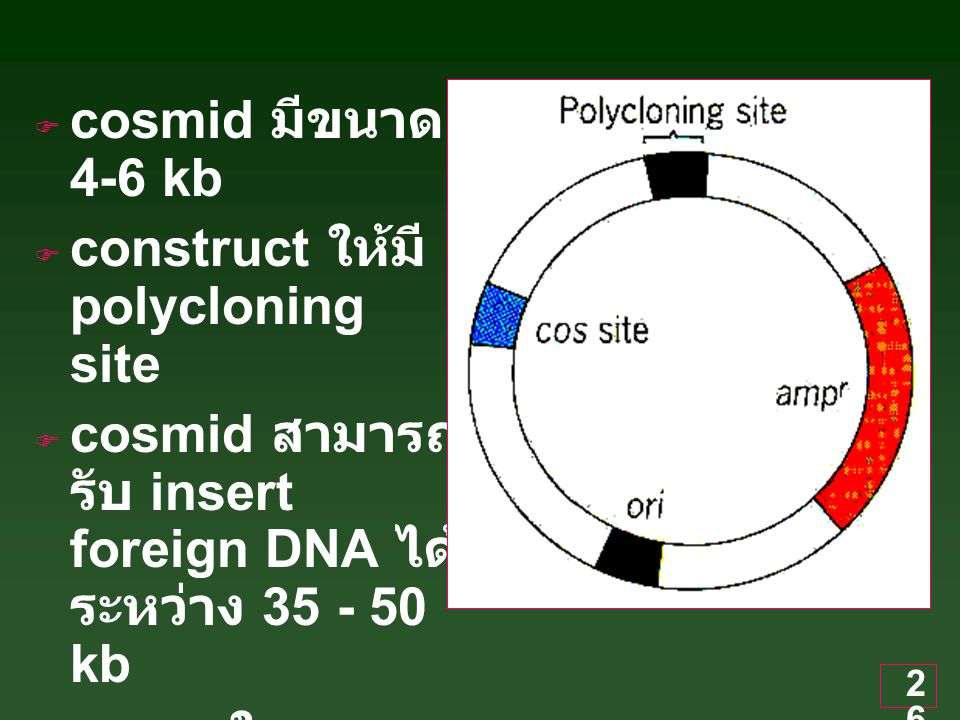 cosmid มีขนาด 4-6 kb construct ให้มี polycloning site. cosmid สามารถรับ insert foreign DNA ได้ระหว่าง 35 - 50 kb.