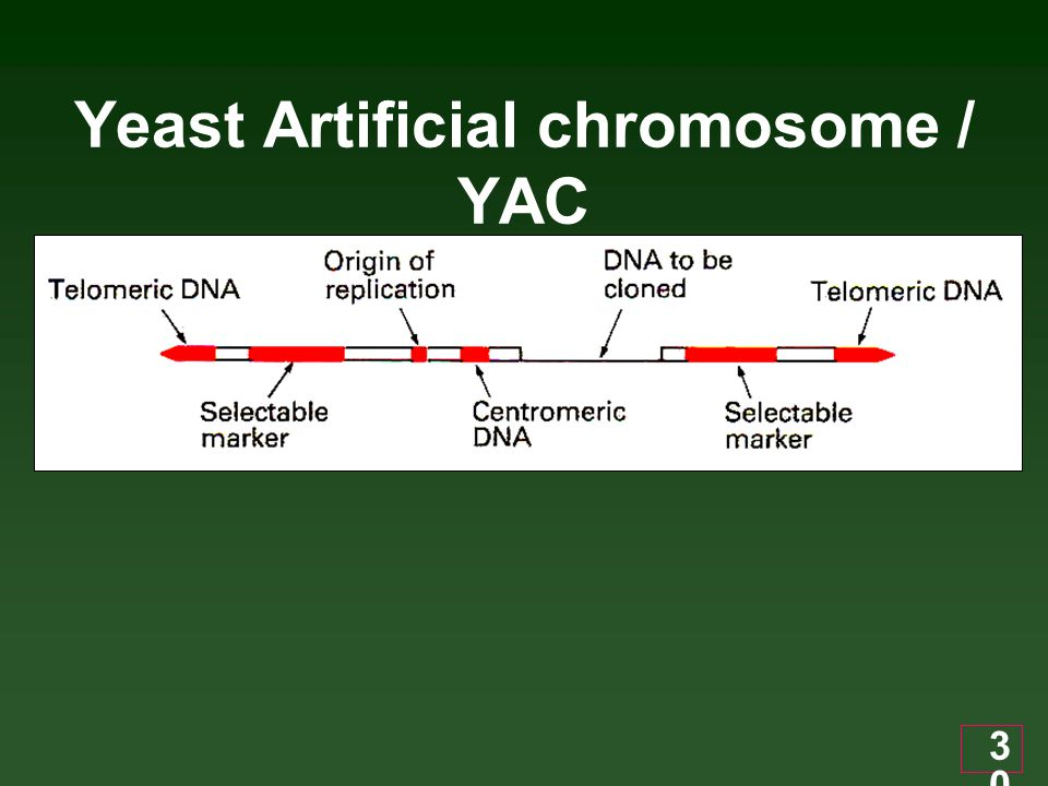 Yeast Artificial chromosome / YAC