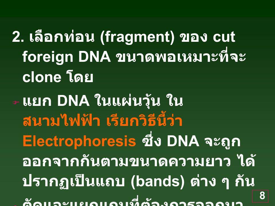 2. เลือกท่อน (fragment) ของ cut foreign DNA ขนาดพอเหมาะที่จะ clone โดย