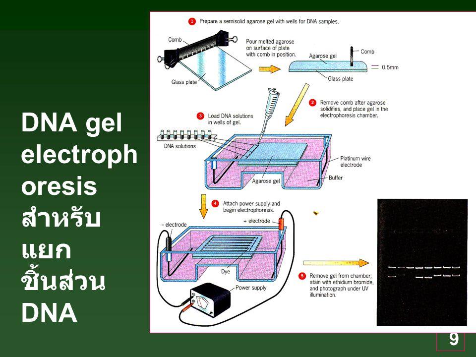 DNA gel electrophoresis สำหรับแยกชิ้นส่วน DNA