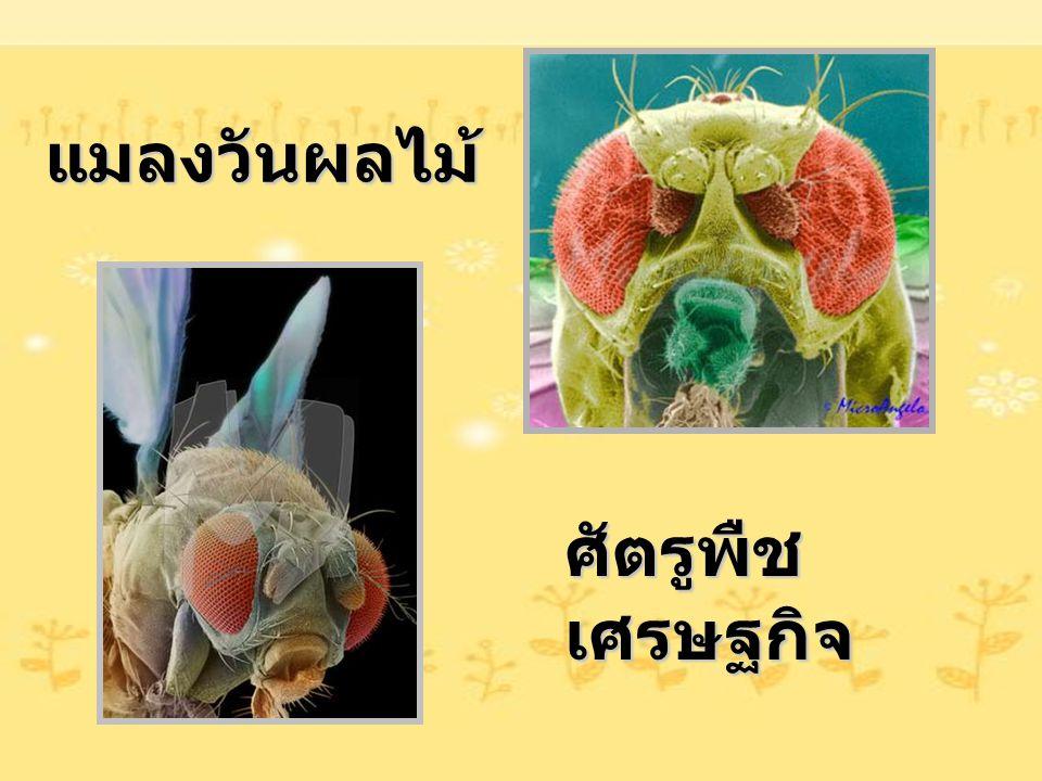 แมลงวันผลไม้ ศัตรูพืชเศรษฐกิจ