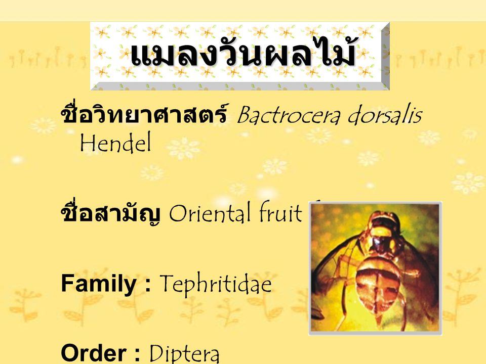 แมลงวันผลไม้ ชื่อวิทยาศาสตร์ Bactrocera dorsalis Hendel