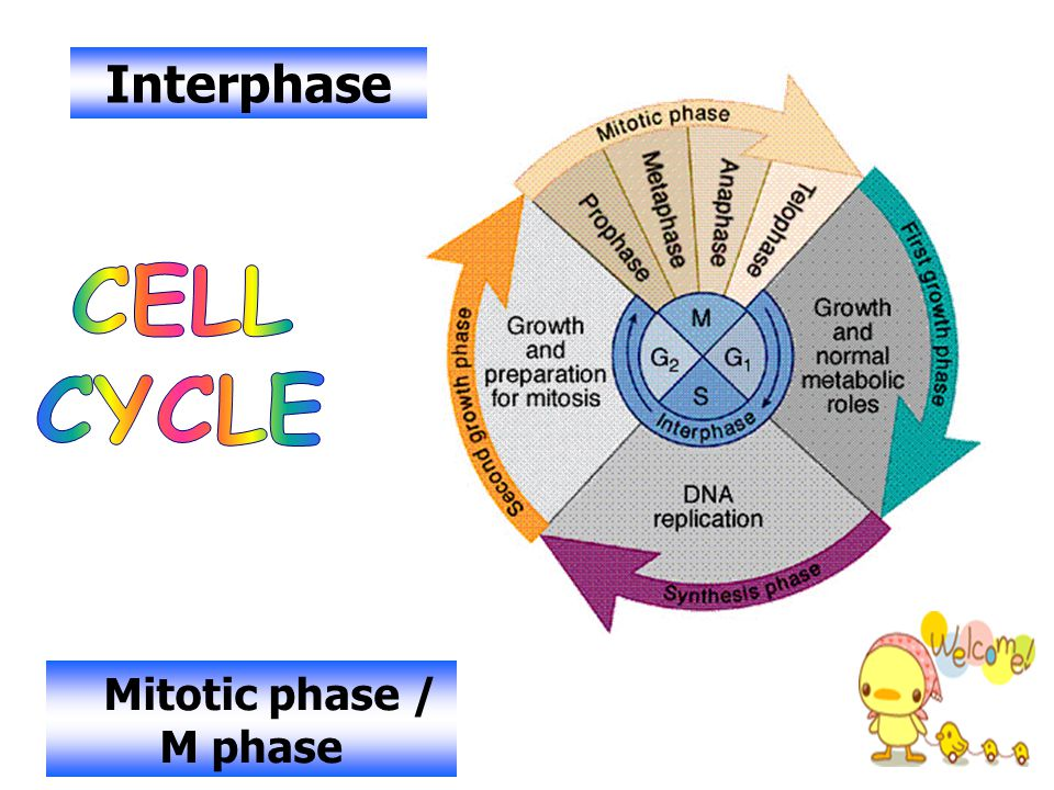 Interphase CELL CYCLE Mitotic phase / M phase