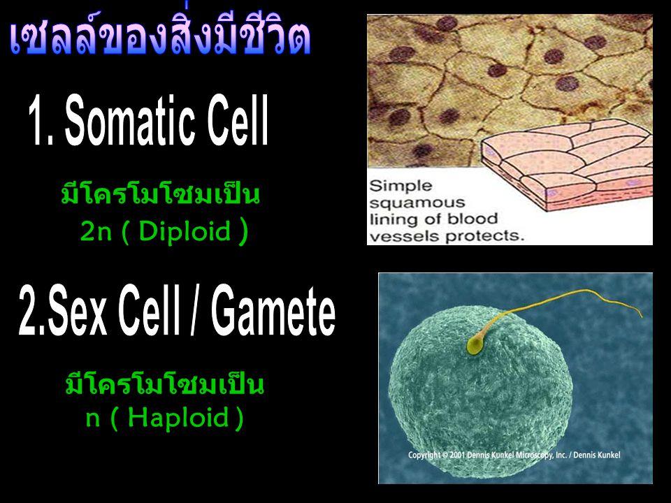 เซลล์ของสิ่งมีชีวิต มีโครโมโซมเป็น 2n ( Diploid ) มีโครโมโซมเป็น