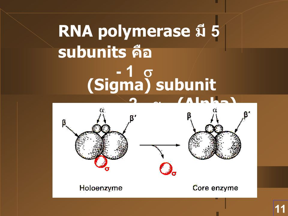RNA polymerase มี 5 subunits คือ