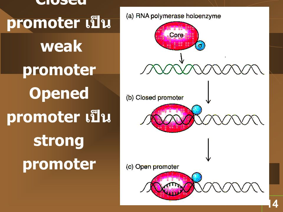 Promoter เมื่อถูกจับด้วย RNA Polymerase Closed promoter เป็น weak promoter Opened promoter เป็น strong promoter