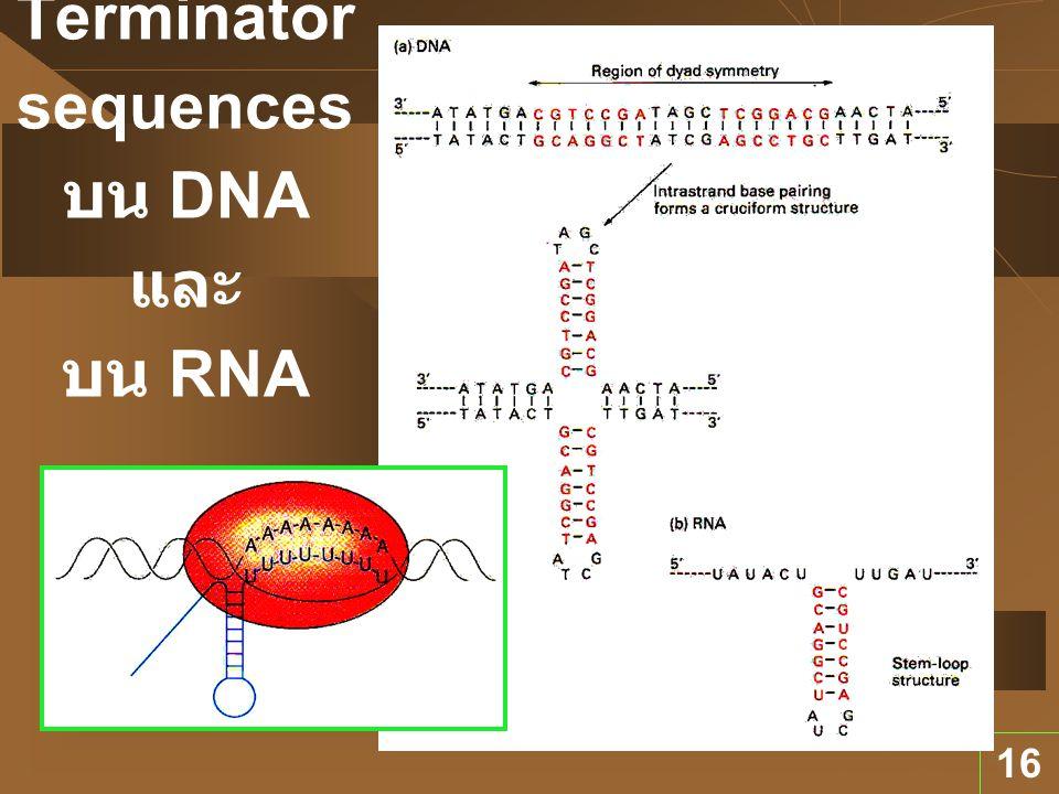 Terminator sequences บน DNA และ บน RNA
