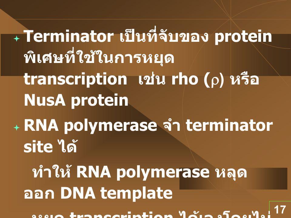 Terminator เป็นที่จับของ protein พิเศษที่ใช้ในการหยุด transcription เช่น rho (r) หรือ NusA protein