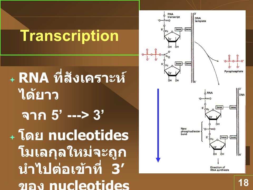Direction ของ Transcription