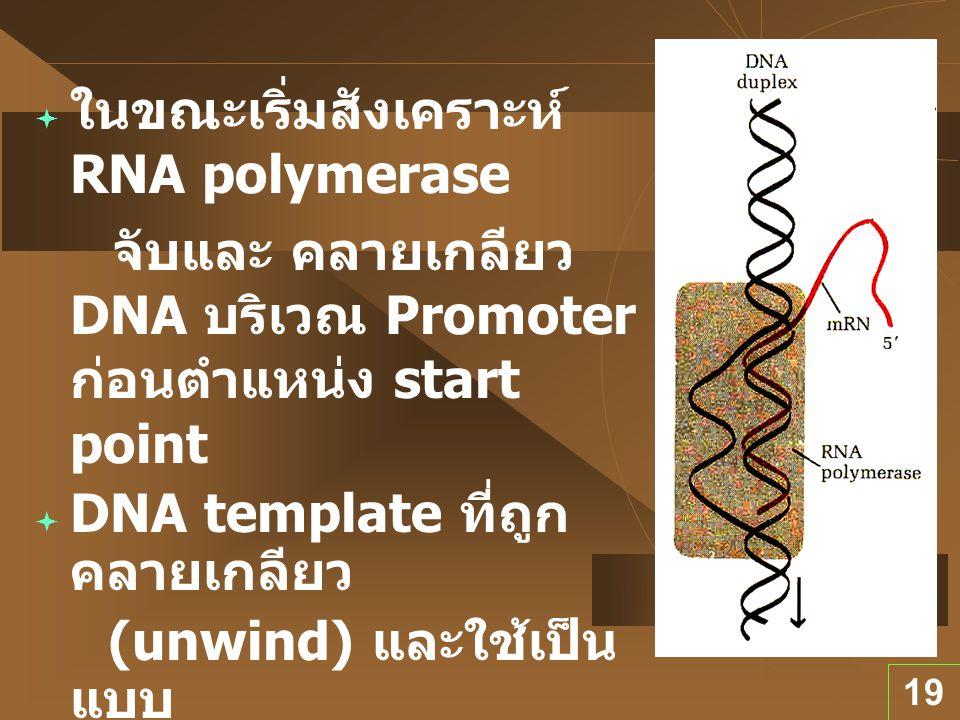 ในขณะเริ่มสังเคราะห์ RNA polymerase