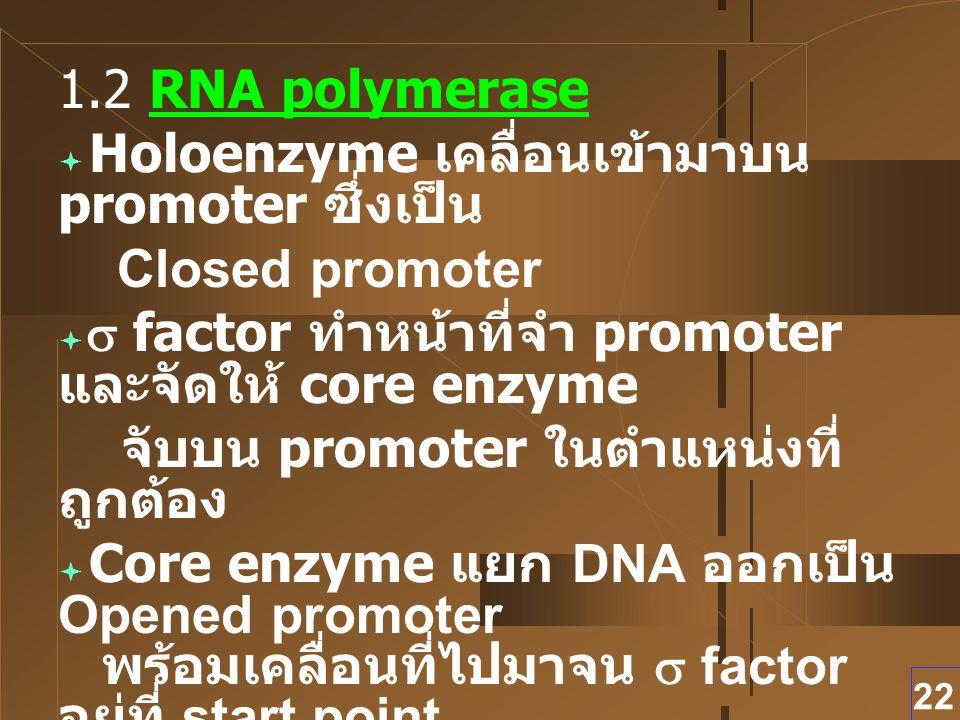 1.2 RNA polymerase Holoenzyme เคลื่อนเข้ามาบน promoter ซึ่งเป็น. Closed promoter. s factor ทำหน้าที่จำ promoter และจัดให้ core enzyme.