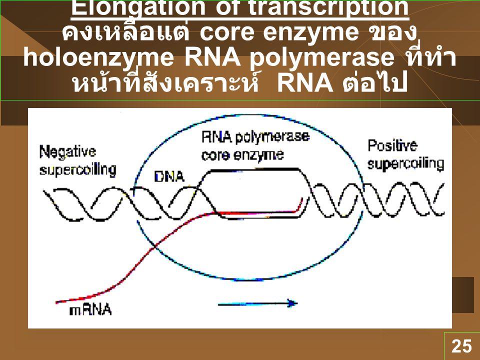 Elongation of transcription คงเหลือแต่ core enzyme ของ holoenzyme RNA polymerase ที่ทำหน้าที่สังเคราะห์ RNA ต่อไป