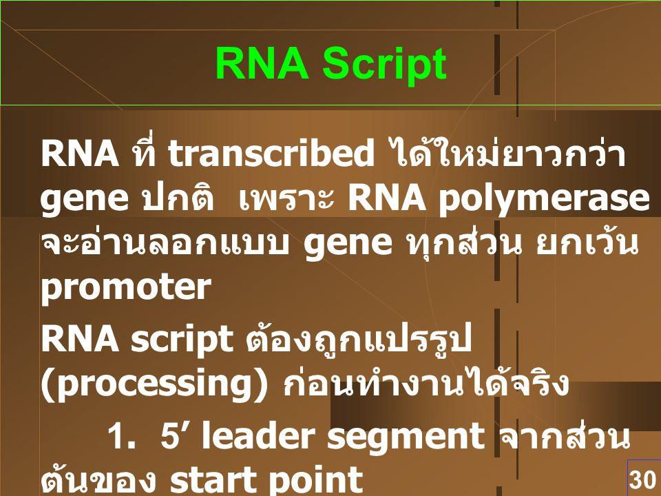 RNA Script RNA ที่ transcribed ได้ใหม่ยาวกว่า gene ปกติ เพราะ RNA polymerase จะอ่านลอกแบบ gene ทุกส่วน ยกเว้น promoter.