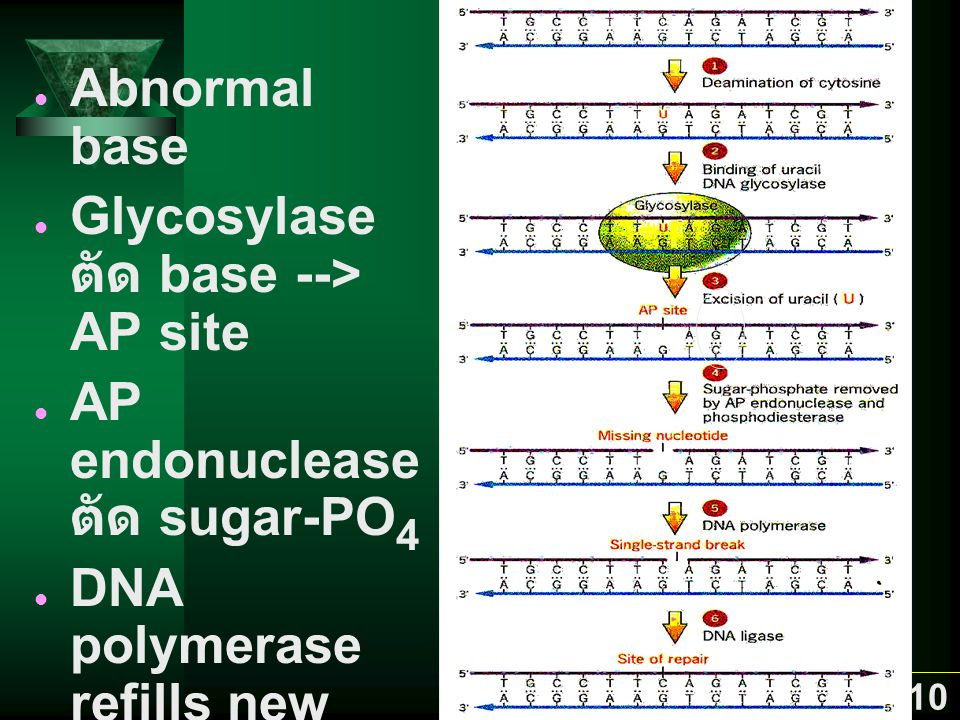 Abnormal base Glycosylase ตัด base --> AP site. AP endonuclease ตัด sugar-PO4. DNA polymerase refills new base.