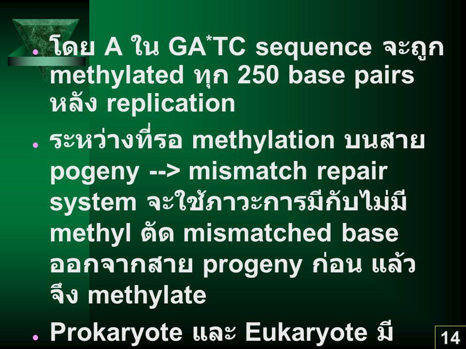 โดย A ใน GA*TC sequence จะถูก methylated ทุก 250 base pairs หลัง replication