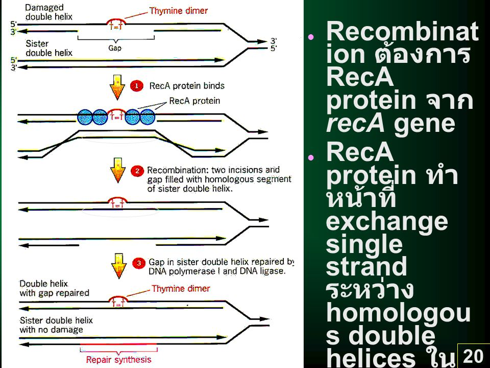 Recombination ต้องการ RecA protein จาก recA gene