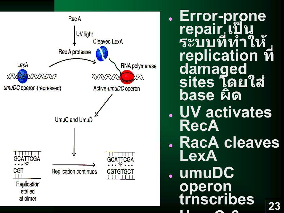 umuDC operon trnscribes