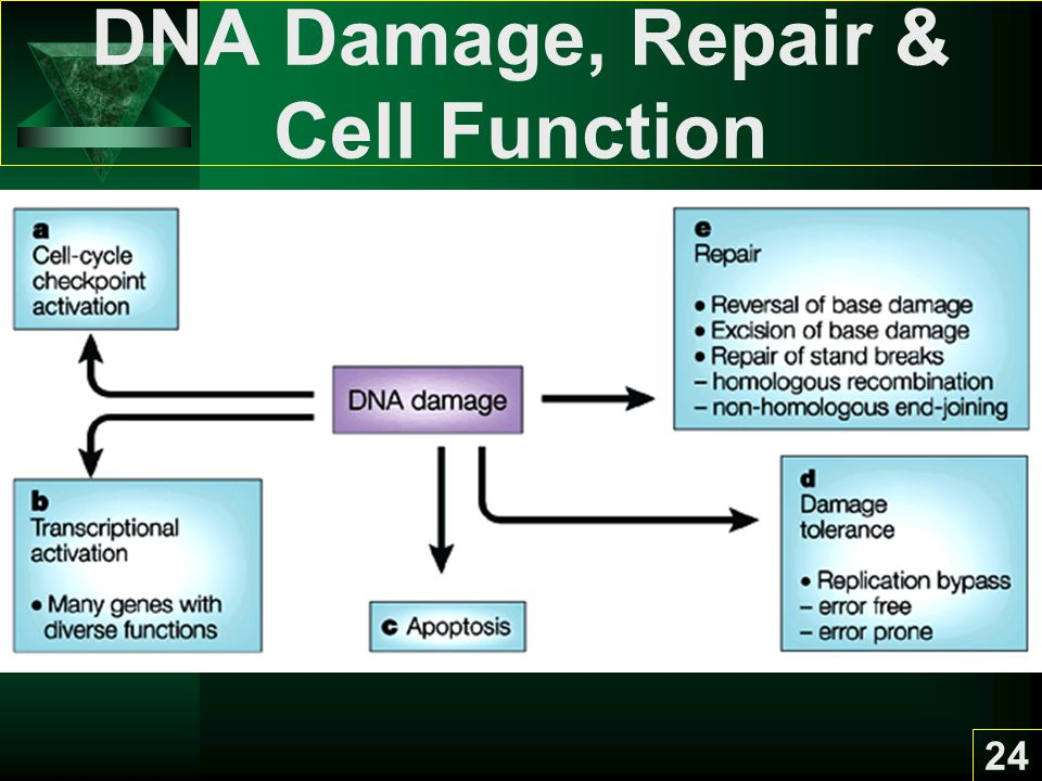DNA Damage, Repair & Cell Function