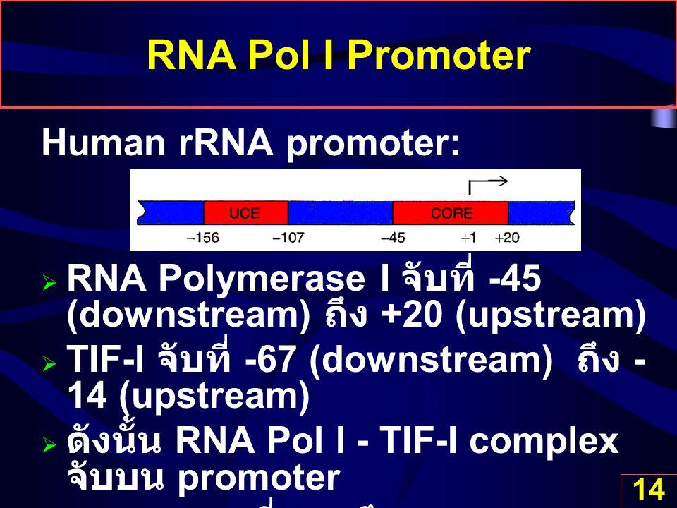 RNA Pol I Promoter Human rRNA promoter: