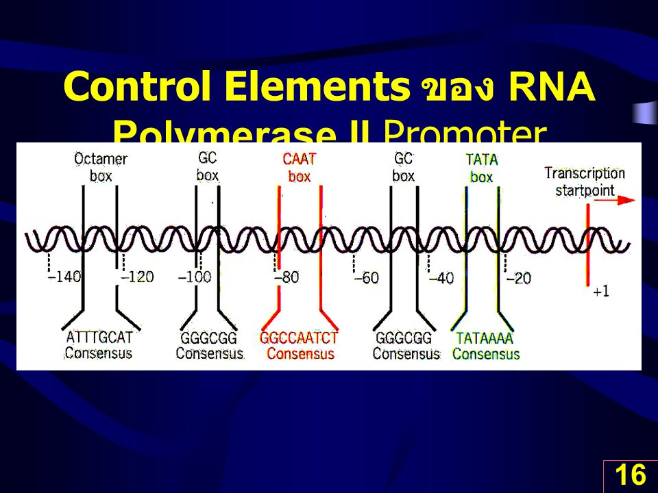 Control Elements ของ RNA Polymerase II Promoter