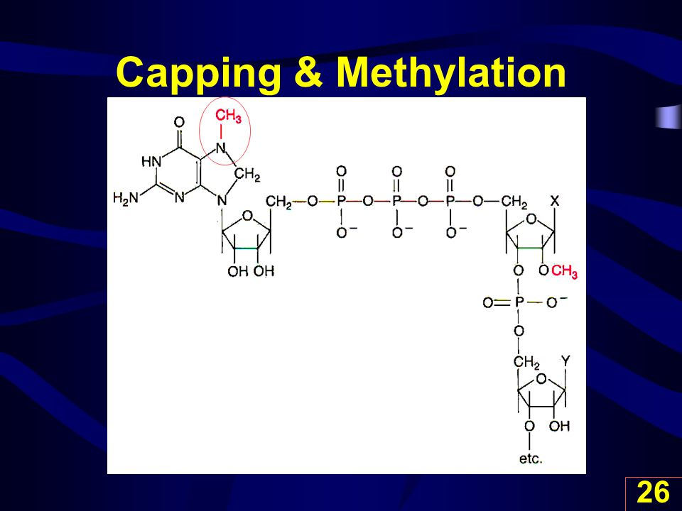 Capping & Methylation