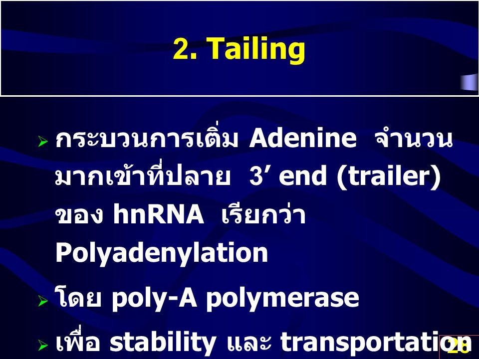2. Tailing กระบวนการเติ่ม Adenine จำนวนมากเข้าที่ปลาย 3' end (trailer) ของ hnRNA เรียกว่า Polyadenylation.