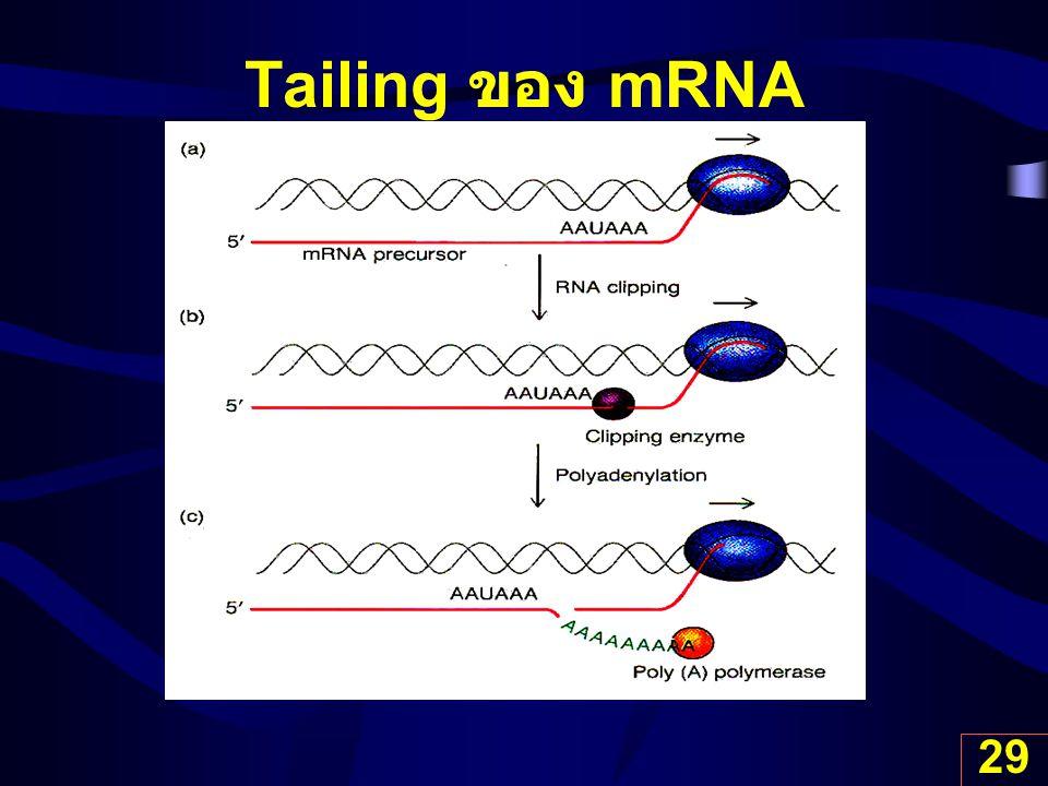 Tailing ของ mRNA