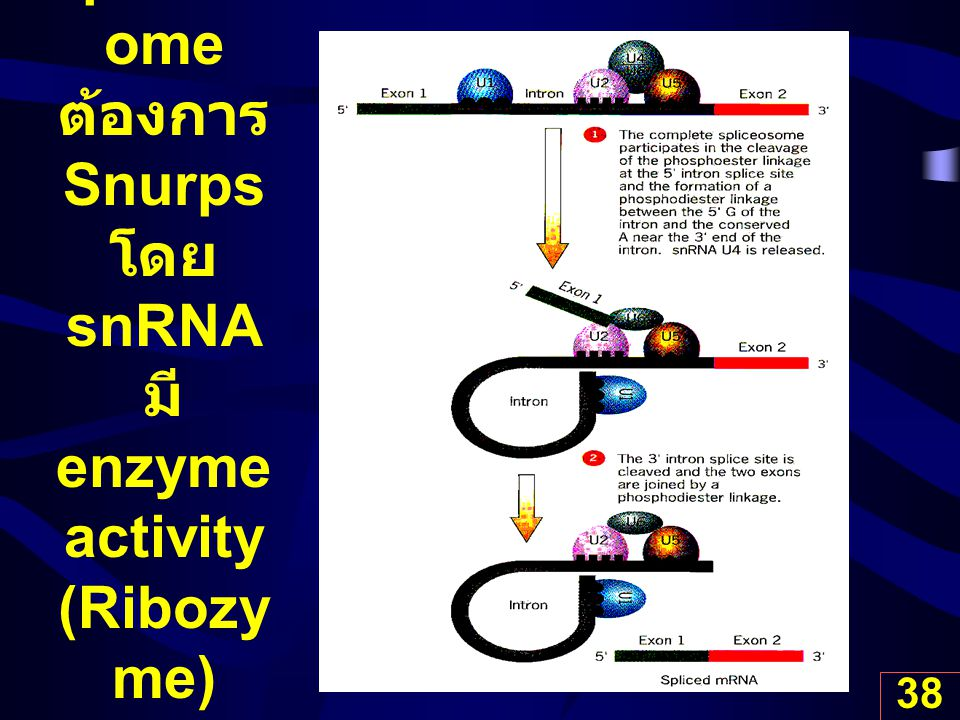 Spliceosome ต้องการ Snurps โดย snRNA มี enzyme activity (Ribozyme)