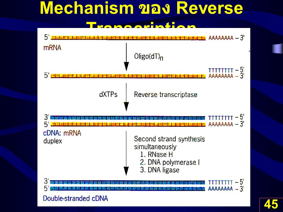 Mechanism ของ Reverse Transcription