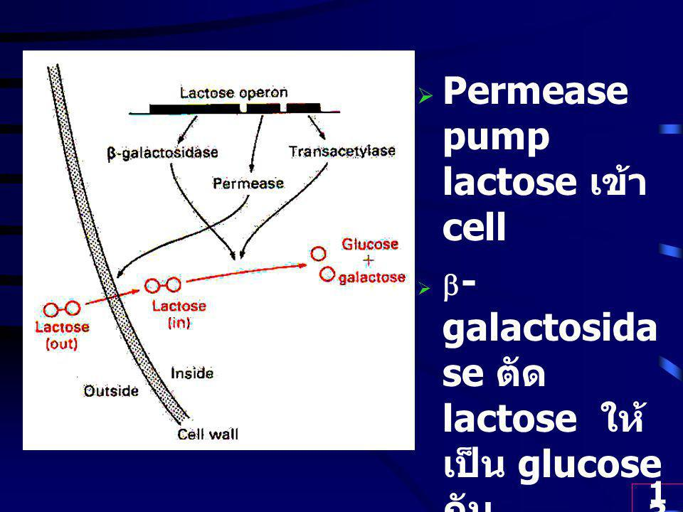 Permease pump lactose เข้า cell