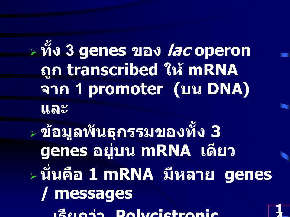 ทั้ง 3 genes ของ lac operon ถูก transcribed ให้ mRNA จาก 1 promoter (บน DNA) และ