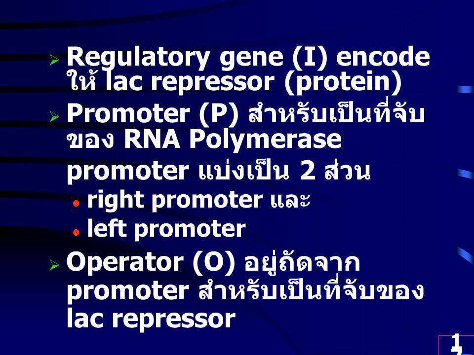Regulatory gene (I) encode ให้ lac repressor (protein)