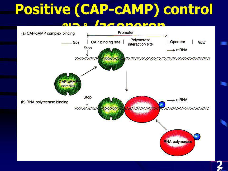 Positive (CAP-cAMP) control ของ lac operon