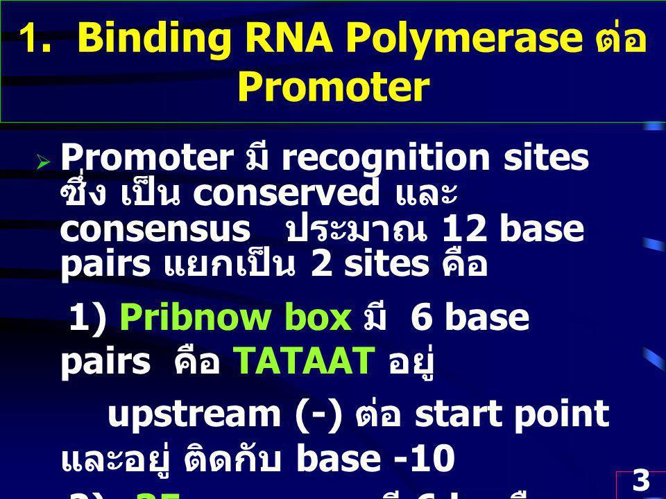 1. Binding RNA Polymerase ต่อ Promoter