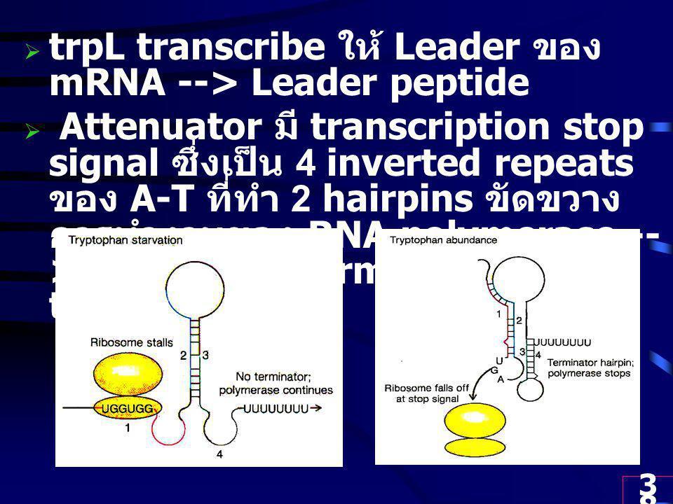trpL transcribe ให้ Leader ของ mRNA --> Leader peptide