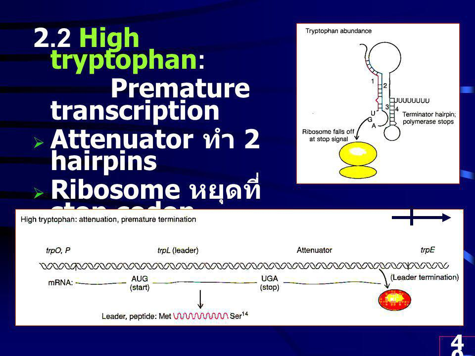 2.2 High tryptophan: Premature transcription. Attenuator ทำ 2 hairpins. Ribosome หยุดที่ stop codon.