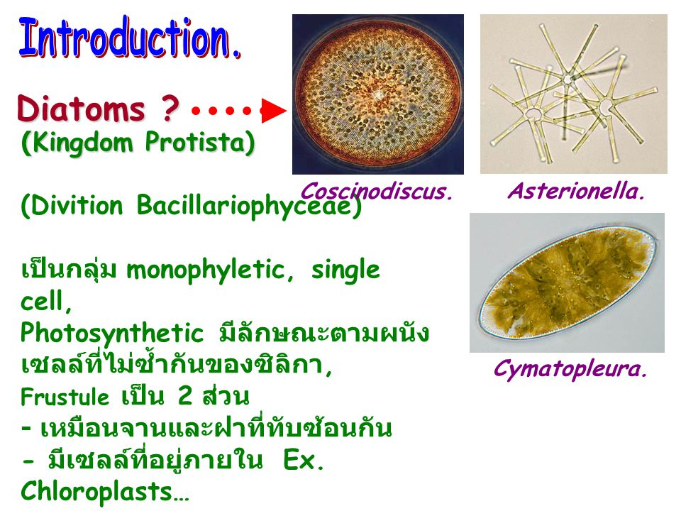 Diatoms (Kingdom Protista) (Divition Bacillariophyceae)