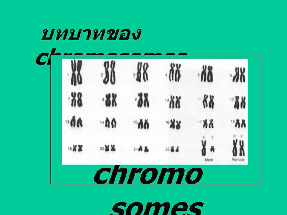 บทบาทของ chromosomes chromosomes