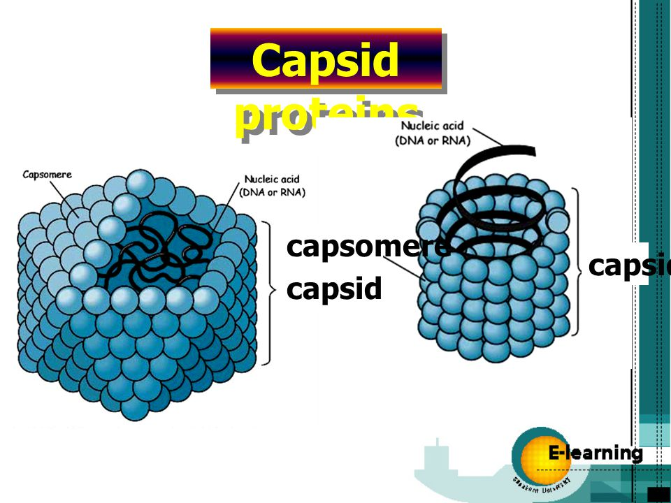 Capsid proteins capsomere capsid capsid